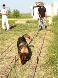 Working dogs in Irak